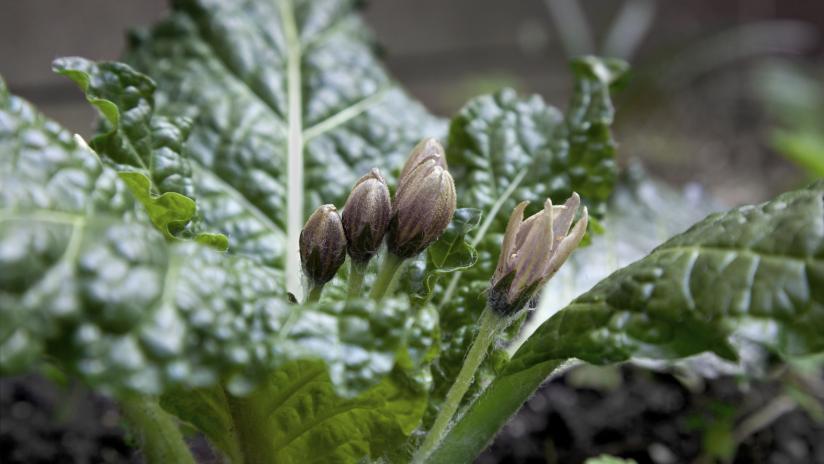 La mandragora una pianta magica paginemediche for Una storia a pianta aperta
